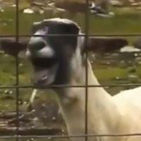 Goat Edition sur YouTube : One Direction et Miley Cyrus vont devenir chèvre !