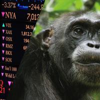 Les chimpanzés plus forts en investissement que les humains ?