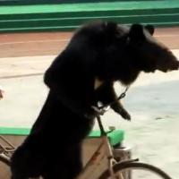 Un singe de zoo attaqué par un ours à vélo : la vidéo qui scandalise la Chine