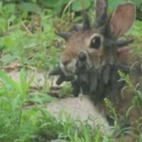 Un lapin avec des cornes découvert aux Etats-Unis : les licornes ont de la concurrence
