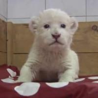Un lionceau apprend à rugir : plus de 2 millions de vues sur Youtube