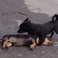 [VIDEO] Déchirant : un chien tente de ranimer son compagnon décédé
