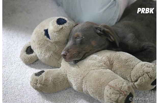 chien gris