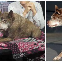 Voici Quasi Modo : il a été élu chien le plus laid du monde 2015 !