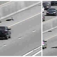 Une maman canard et ses bébés traversent une autoroute : frissons garantis !