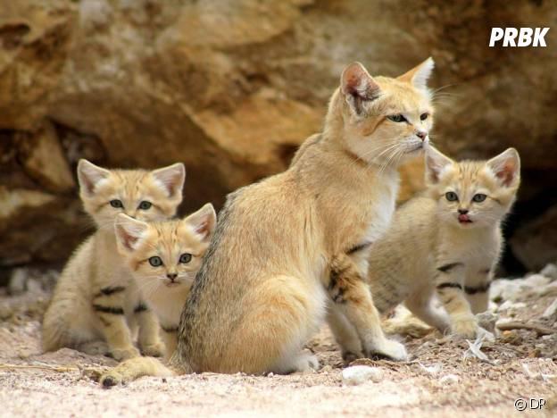 Une famille d'adorables chats des sables.