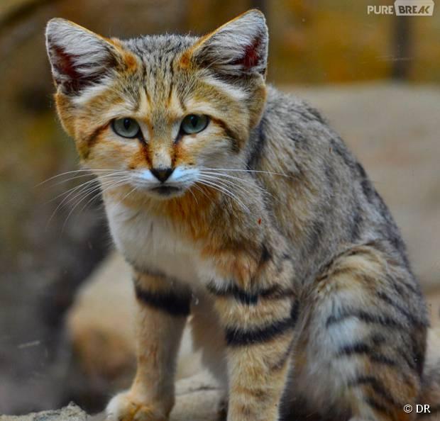 Trop mignon d couvrez les chats des sables d 39 adorables - Chat des sables a vendre ...