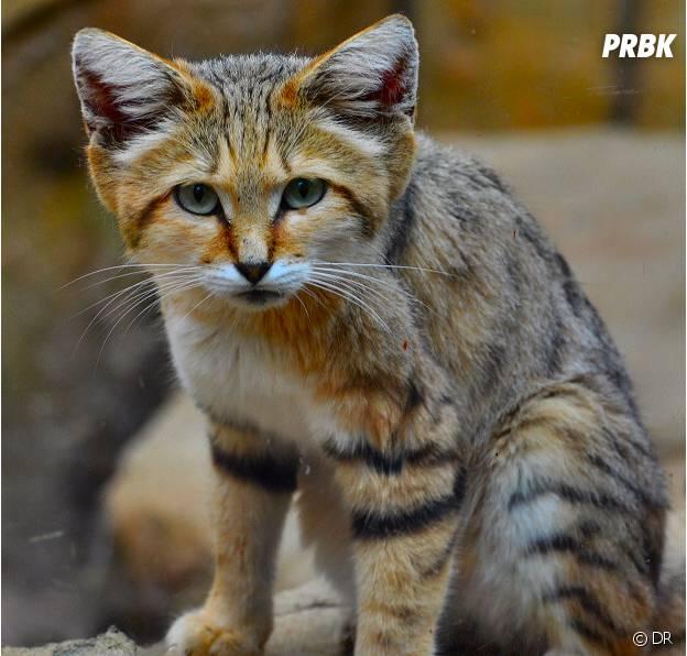 Un adorable chat des sables.