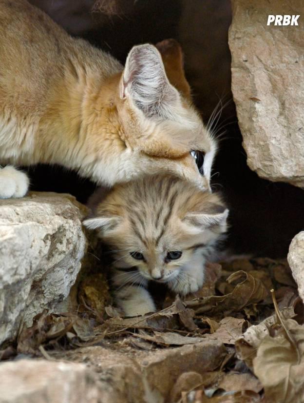Une maman chat des sables et son petit