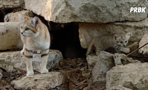 Les chats des sables sont trop mignons