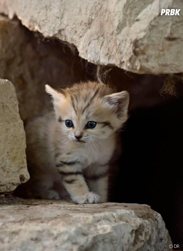 Les chats des sables sont à croquer