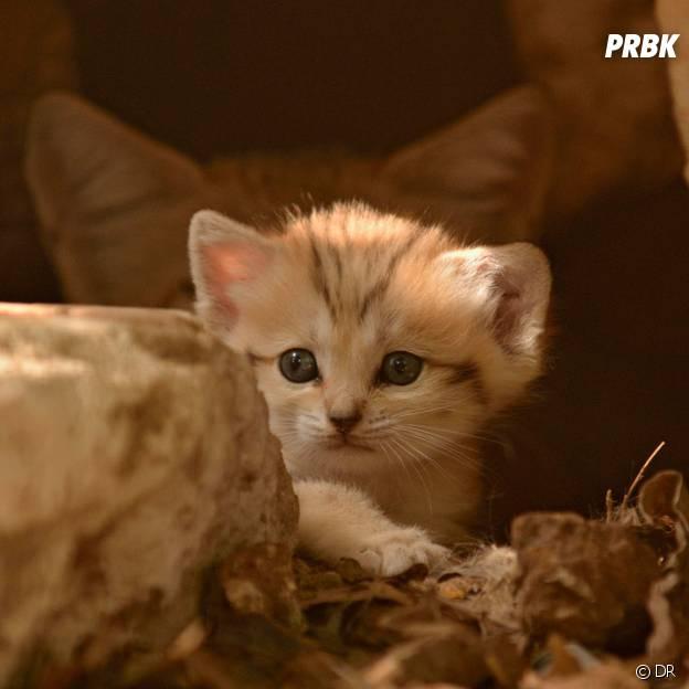 Un adorable chaton des sables.
