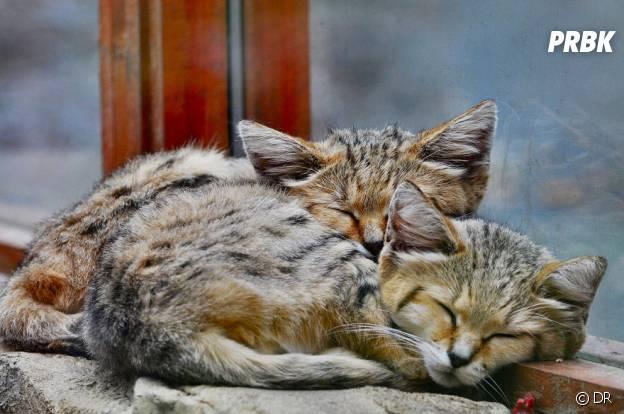 Des chats des sables qui font la sieste
