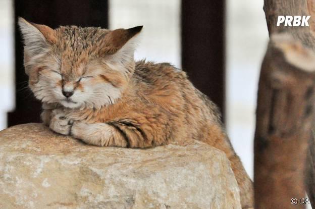 Un petit chat des sables trop mignon