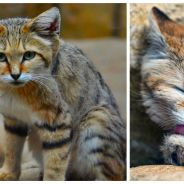 Trop mignon : découvrez les chats des sables, d'adorables petits félins du désert