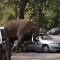 Un éléphant au coeur brisé se venge en détruisant des voitures
