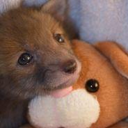 Puggle, le bébé renard inséparable de sa peluche lapin qui va forcément vous faire craquer
