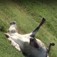 Un poney s'amuse à piéger les passants en faisant le mort !