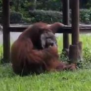 Un orang-outan filmé en train de fumer dans un zoo, la vidéo qui révolte les défenseurs des animaux