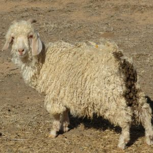 ASOS abandonne le mohair, la soie, le cachemire et les plumes, victoire pour PETA