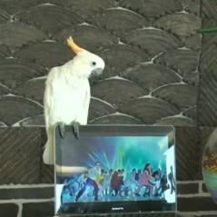 Psy : Gangnam Style version perroquet ! (VIDEO LOL)