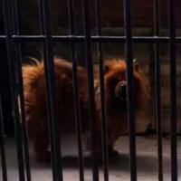 Chine : un zoo fait passer un chien pour... un lion