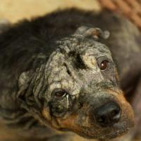 [PHOTOS] La transformation magnifique de Tiny, le Rottweiler abandonné et sauvé