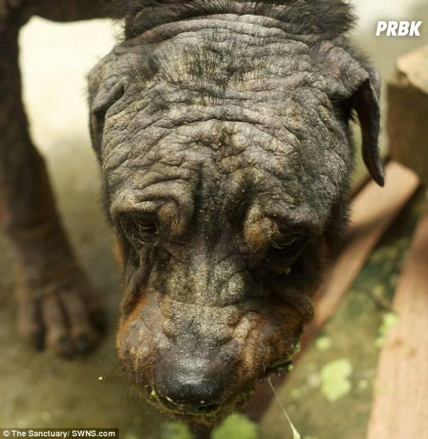 Tiny rottweiler abandonné et soigné 6