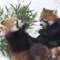 Deux pandas roux jouent dans la neige : trop cute !