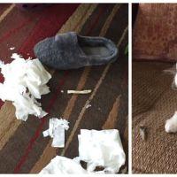 Deux chiens, toute une boîte de mouchoirs déchirés au sol : qui est le coupable ?