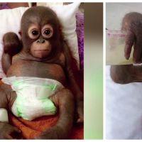 Attention, émotion : ce bébé orang outan maltraité revient de très loin