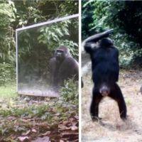 Des animaux sauvages se découvrent pour la 1ère fois dans un miroir : les réactions sont trop cute