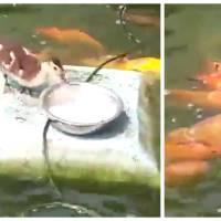 Trop mignon : quand un canard s'amuse à donner à manger à des poissons