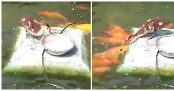 Trop mignon quand un canard s 39 amuse donner manger for A donner poisson