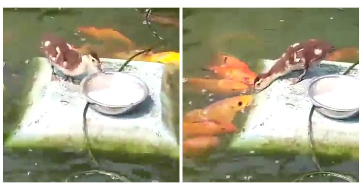 Trop mignon quand un canard s 39 amuse donner manger for Donner des poissons