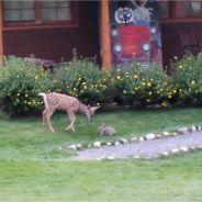 Bambi et Panpan dans la vraie vie : quand un faon joue avec un lapin, c'est forcément cute