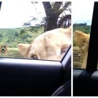 Le méga-FLIPPE : un lion ouvre les portes d'une voiture pendant un safari