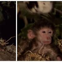 Extraordinaire : un léopard sauve un bébé babouin orphelin
