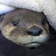 Oliver, la loutre sauvée par FedEx et accueillie par le Downtown Aquarium de Denver