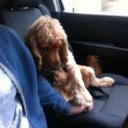 Donne la main-main ! Le chien accro à la main de son maître...en voiture