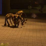 [VIDEO] Un chien-araignée géant star d'une caméra cachée flippante et délirante