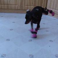 Fail : ces chiens qui marchent en chaussures vont vous faire pitié... et rire !