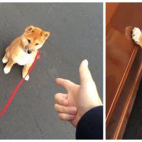 Trop cute : ce chien Shiba Inu met les pattes en l'air sur commande !