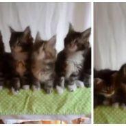 Voici un nouveau sport trop mignon : la danse synchronisée... de chatons !