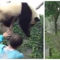 Trop chou : un panda veut un câlin pour descendre de son arbre