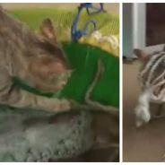 Drôle et cute : un chat vole un poulpe, il va vite le regretter...