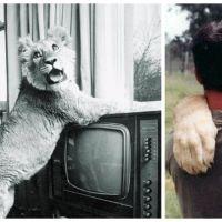 Christian le lion : retrouvailles incroyables et touchantes d'un animal et de ses premiers maîtres