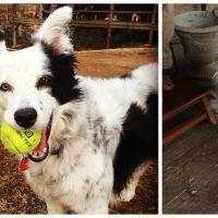 Hallucinant : voici Chaser, la chienne la plus intelligente du monde, qui connait plus de 1000 mots