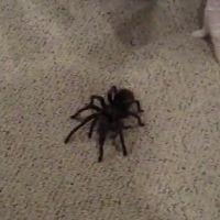 Le BRUIT affreux que fait cette énorme araignée choque tous ceux qui l'entendent