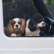 Pour sauver des animaux, vous avez désormais le droit... de ruiner des voitures